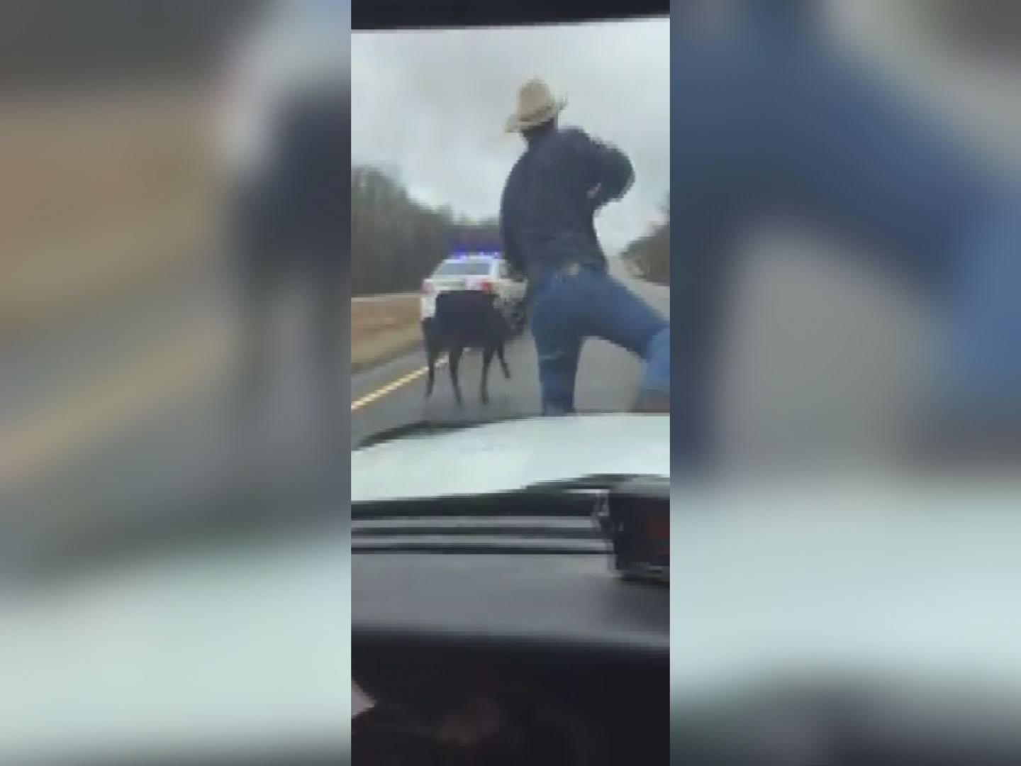 Only in America: Cowboy lassoes calf from hood of cop auto
