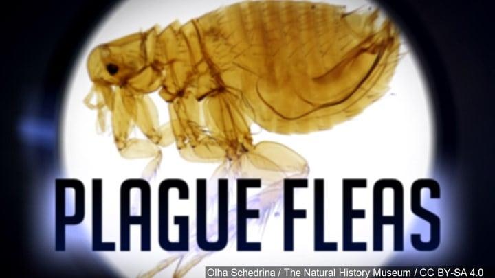 Bubonic plague found on fleas in Arizona