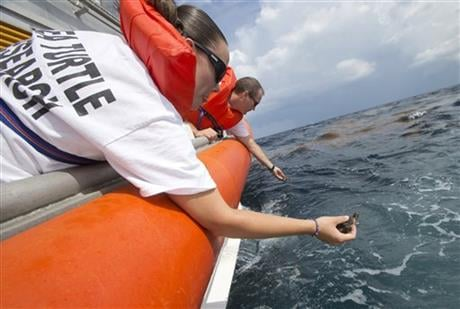 Marine Turtle Specialists from the Gumbo Limbo Nature Center, Laurie Herrick, foreground, and David Anderson, rear, release sea turtle hatchling from a U.S. Coast Guard vessel, Monday, July 27, 2015, off the coast of Boca Raton, Fla. (AP photo)