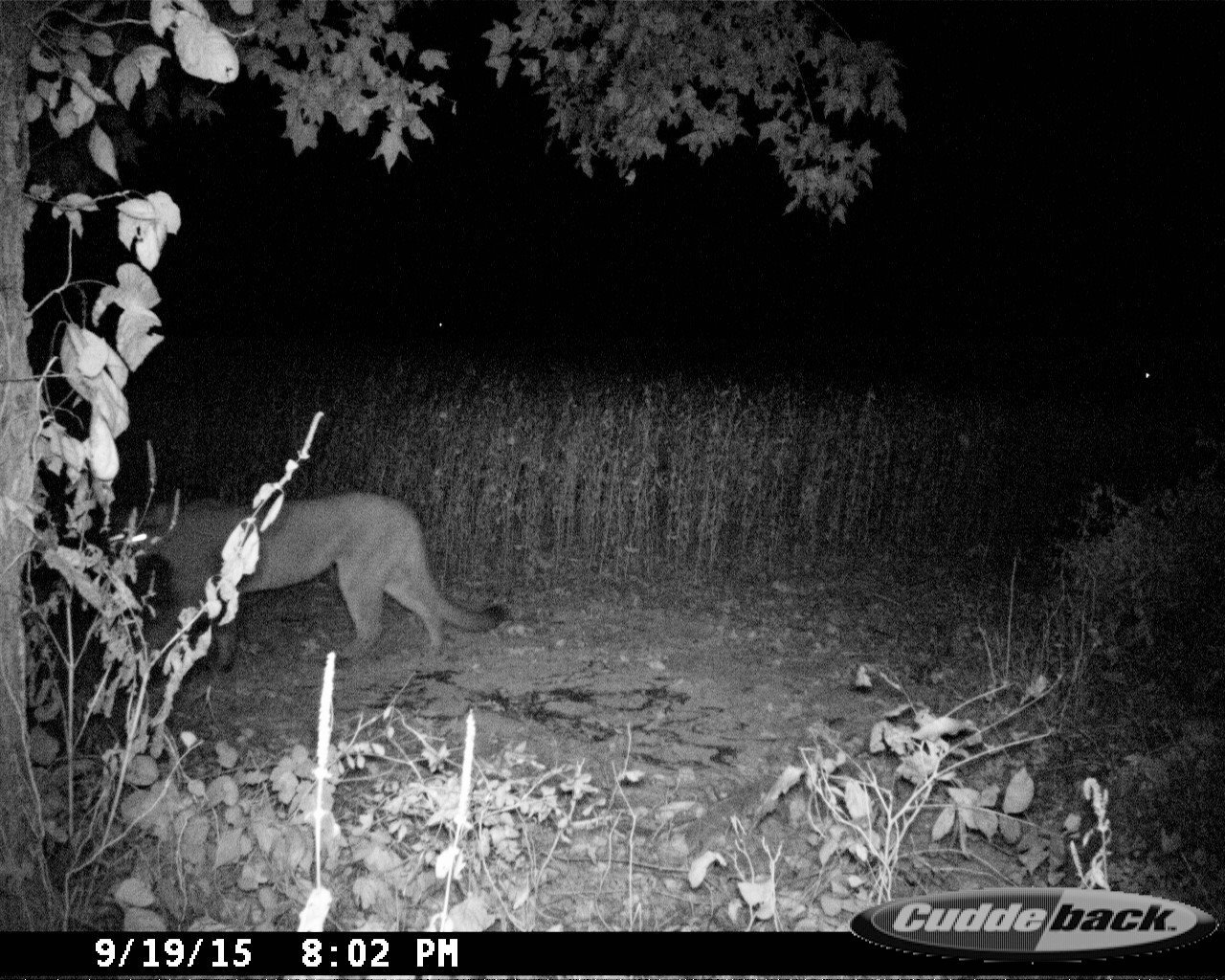 A cougar was photographed in September in Obion County, Tenn. (Photo via the Tennessee Wildlife Resources Agency - Statewide Facebook page)