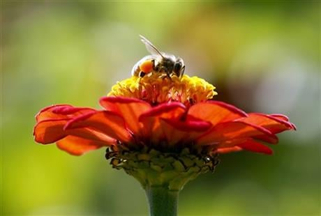 In this Sept. 1, 2015, file photo, a honeybee works atop gift zinnia in Accord, N.Y. (AP photo)